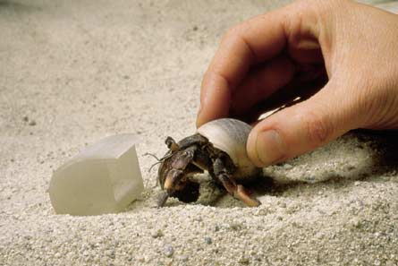Hermit crab cases out a synthetic shell