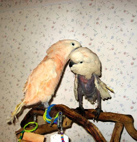 Moluccan Cockatoo Bite